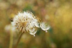 Torkad bakgrund för suddighet för blomninggräsnatur Royaltyfria Bilder
