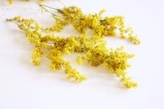 Torkad bedstraw för ` s för galumverumdam eller gul bedstraw som isoleras på vit Den Galum verumen är en örtartad perenn växt Sun royaltyfri foto