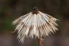 Torkad blomma på den mörka bakgrunden Fotografering för Bildbyråer