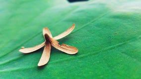 Torkad blomma på ett vatten Lily Leafe royaltyfri fotografi