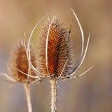 torkad blommathistle Arkivbild