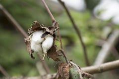 Torkad bomullsblomma på träd med suddighetsbakgrund royaltyfri foto