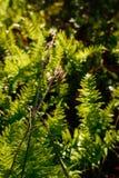 Torkad brunt kärnar ur fröskidor framme av ljust - gröna ormbunkar tänds av morgonsolen Arkivbilder
