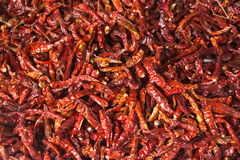torkad chili Arkivbild