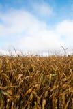 Torkad fälthavre, Cornfield, skörd arkivbild