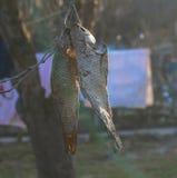 torkad fisk Royaltyfria Bilder