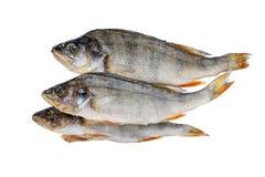 Torkad fisk p? makro perch Läckert ölmellanmål fotografering för bildbyråer