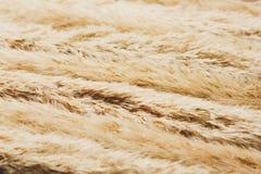 Torkad fluffig bakgrund för cattailblommatextur Arkivfoton
