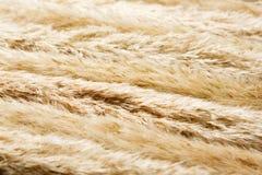 Torkad fluffig bakgrund för cattailblommatextur Royaltyfri Bild