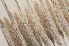 Torkad fluffig bakgrund för cattailblommatextur på vitt trä Royaltyfria Bilder