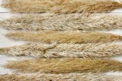 Torkad fluffig bakgrund för cattailblommatextur på vitt trä Arkivfoto