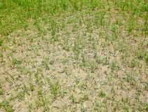 Torkad gräsmatta Arkivfoto