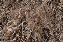 torkad gräsprariesolbränna royaltyfri foto
