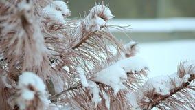 Torkad gran, i snön som mycket är kall Sträng frost i Alaska lager videofilmer