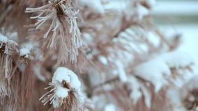 Torkad gran, i snön som mycket är kall Sträng frost i Alaska arkivfilmer