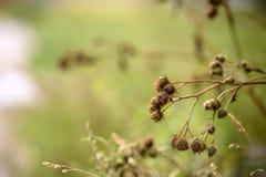 Torkad kardborre under grönt gräs Arkivfoton