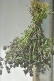 torkad Lavendel-vädrad timjan (thymuskörtelpulegioides) Royaltyfri Bild
