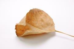 torkad leaf Royaltyfria Bilder