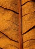 Torkad leaf Royaltyfri Fotografi