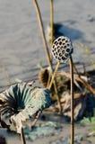 torkad lotusblomma Royaltyfri Fotografi