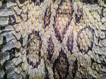 Torkad ormhud av Siamese russells huggorm (Daboia siamensis) f Arkivfoton
