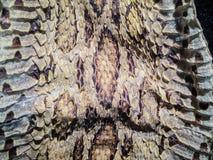 Torkad ormhud av Siamese russells huggorm (Daboia siamensis) f Arkivfoto