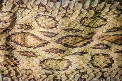 Torkad ormhud av Siamese russells huggorm (Daboia siamensis) f Arkivbilder