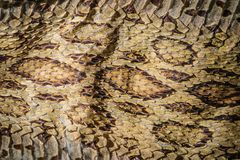 Torkad ormhud av Siamese russells huggorm (Daboia siamensis) f Royaltyfria Foton