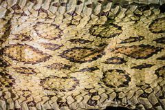 Torkad ormhud av Siamese russells huggorm (Daboia siamensis) f Fotografering för Bildbyråer