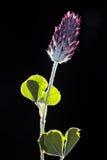 Torkad pressande växt av släktet Trifoliumblomning Arkivfoto