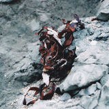 Torkad röd havsväxt som vilar på krickagrå färgerna, vaggar Royaltyfria Bilder