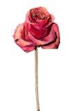 Torkad röd ros som isoleras på vit bakgrund Tillgänglig PNG Fotografering för Bildbyråer