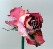 torkad red steg Royaltyfri Fotografi