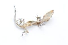 torkad reptil Arkivbild