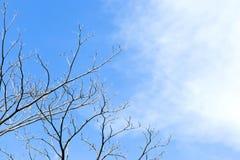 Torkad risfilial på död träd- och himmelbakgrund Arkivbild