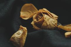 torkad roseyellow Royaltyfri Foto
