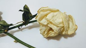 torkad roseyellow Royaltyfri Fotografi