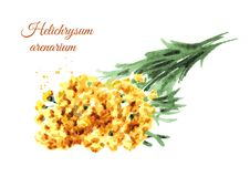 Torkad sandless immortelle Gul blommaHelichrysumarenarium medicinal växt Dragen illustration för vattenfärg som hand isoleras på stock illustrationer