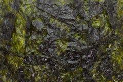 torkad seaweed Royaltyfri Fotografi