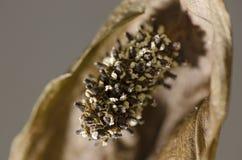 Torkad Spathiphyllum blomma Arkivfoton