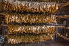 Torkad tobak, i att torka kojan i Viñales, Kuba royaltyfria foton