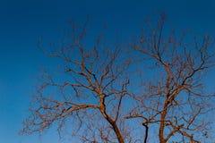 torkad tree Royaltyfri Foto