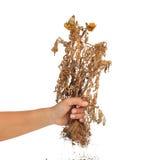 Torkad växt i handen som isoleras på vit bakgrund royaltyfri foto