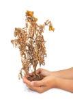 Torkad växt i handen som isoleras på vit bakgrund royaltyfri bild