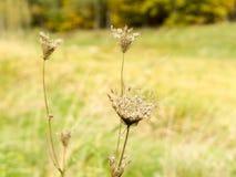 Torkad växt på äng fotografering för bildbyråer