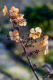 torkad vanlig hortensia Fotografering för Bildbyråer