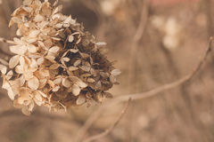 torkad vanlig hortensia Arkivbilder