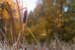 Torkad vass i en Forest Swamp arkivbilder