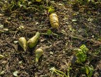 Torkad zucchiniskörd Royaltyfria Bilder