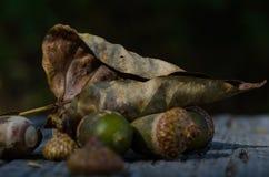 Torkade blad och ekollonar av Autumn Resting på åldrigt och ridit ut trä Fotografering för Bildbyråer